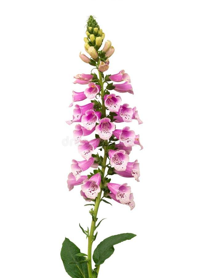 Purpere die purpureabloemen van het digitalisvingerhoedskruid op witte achtergrond, weg worden geïsoleerd stock afbeelding