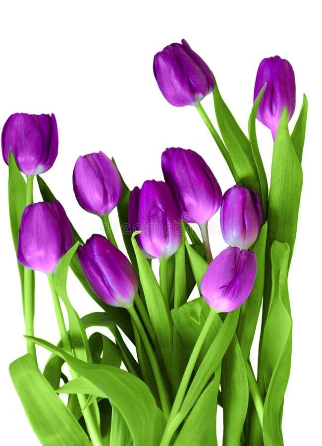 Purpere die tulpen op een wit worden geïsoleerd royalty-vrije stock afbeeldingen
