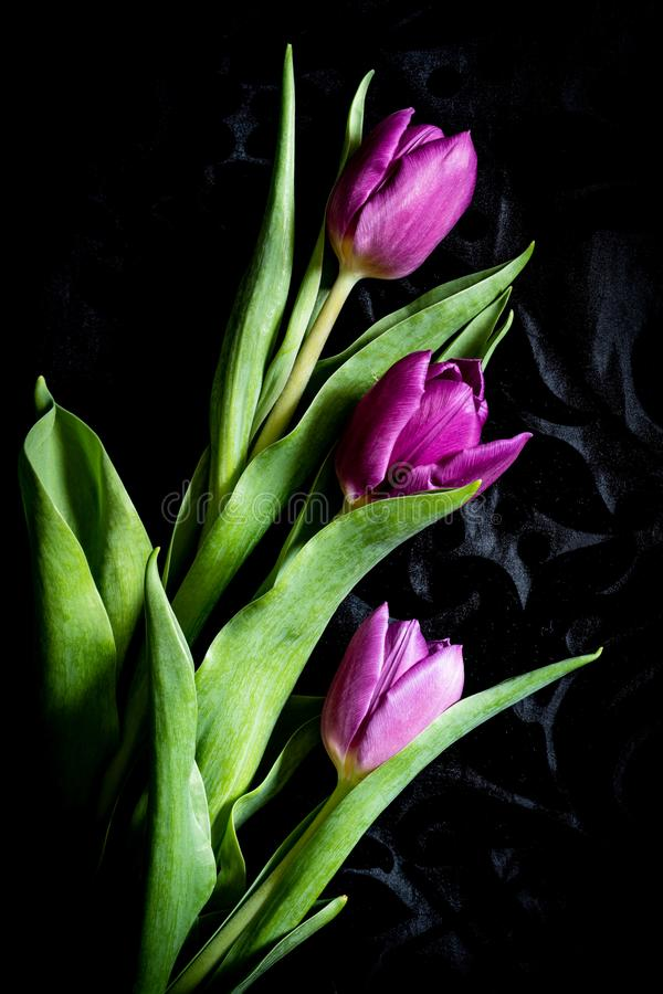 Purpere die tulpen op zwarte achtergrond worden ge?soleerd stock foto