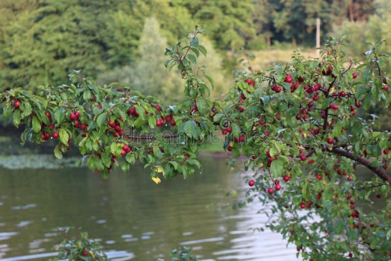 Purpere die vruchten van kersenpruim op een boom in de recente zomer worden gerijpt stock afbeelding
