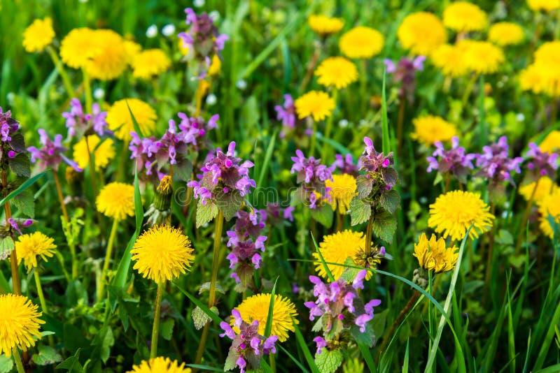 Purpere Dovenetel (Lamium-purpureum) en gele paardebloem in weide royalty-vrije stock foto's