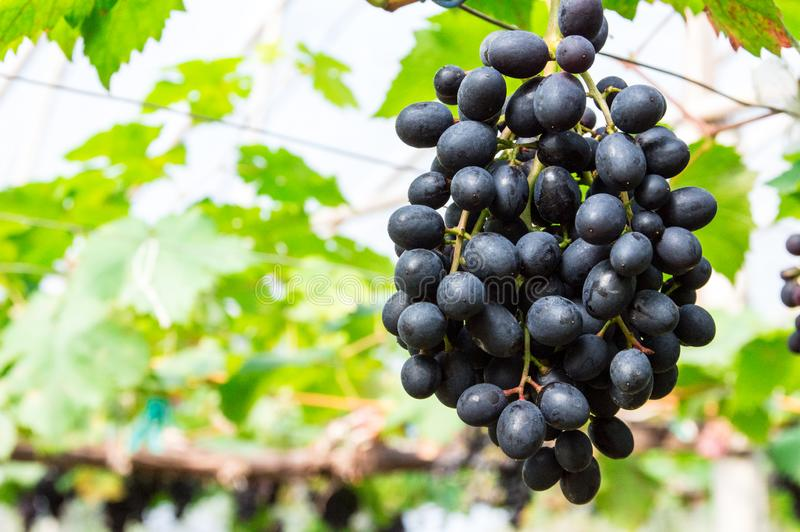 Purpere druiven die op de takken hangen stock fotografie