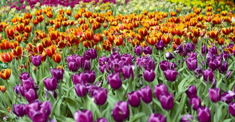 Purpere en rode bloemen stock foto's