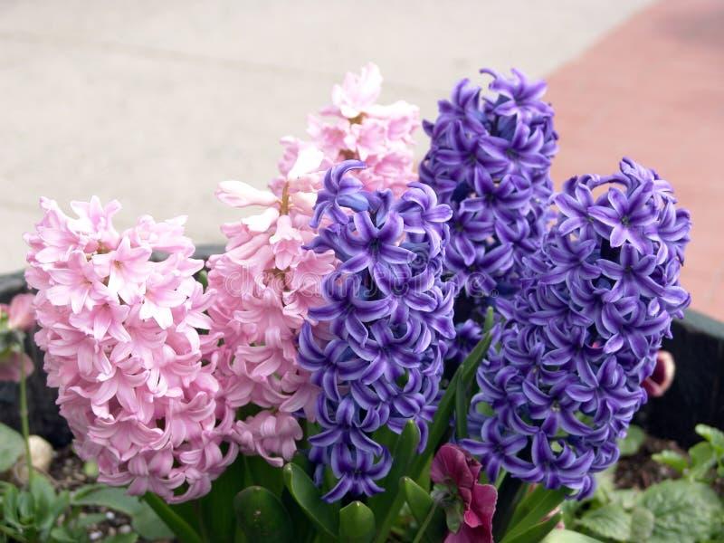Download Purpere en Roze Hyacint stock foto. Afbeelding bestaande uit bloei - 101016