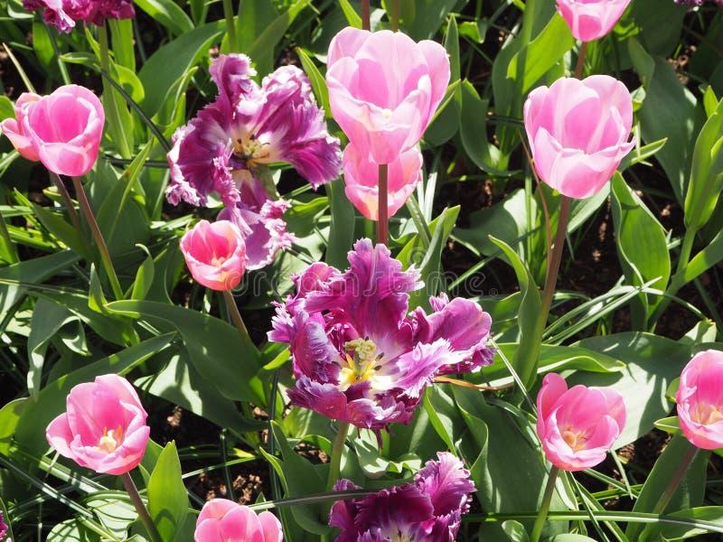 Purpere en roze tulpen royalty-vrije stock foto's