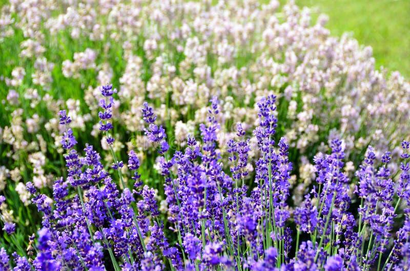 Purpere en witte angustifolia van Lavandula van lavendelbloemen stock afbeeldingen
