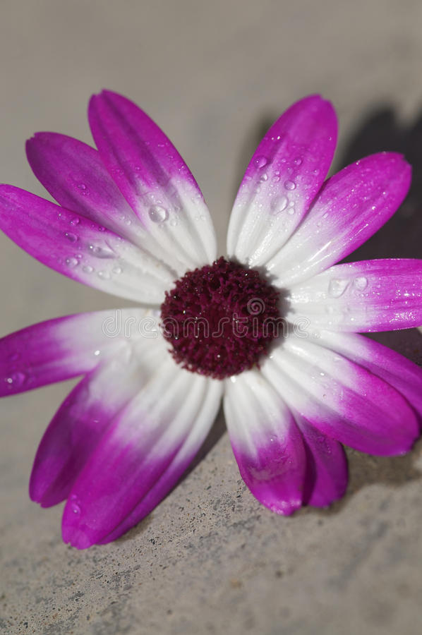 Purpere en witte bloem royalty-vrije stock foto's