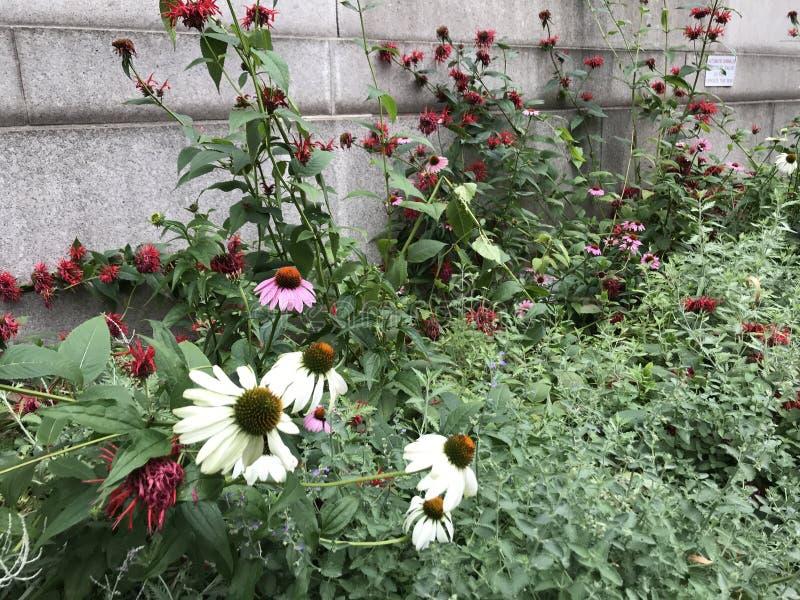 Purpere en witte coneflowers lange bloemen van het landschapsformaat in de stad van New York stock afbeeldingen