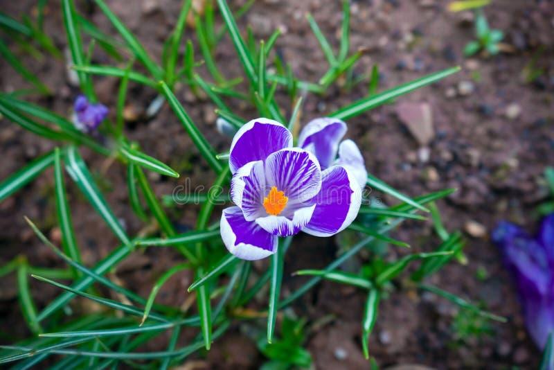 Purpere en witte krokusbloemen in de de lentetijd royalty-vrije stock afbeeldingen