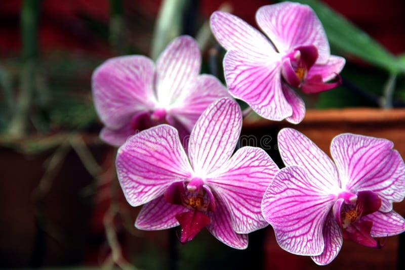 Purpere en witte orchideebloemen royalty-vrije stock foto