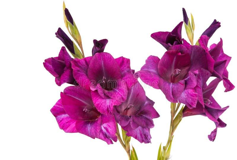 purpere geïsoleerde gladiolen royalty-vrije stock foto's