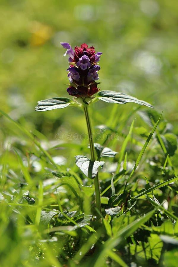 Purpere gekleurde Prunella-installatie, wildflower in bloei stock foto