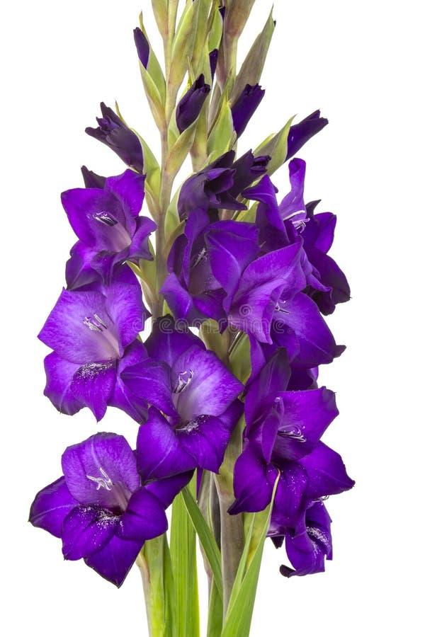 Purpere gladiolenbloemen royalty-vrije stock afbeeldingen