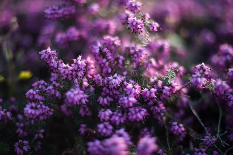 Purpere Heather Plant royalty-vrije stock foto's