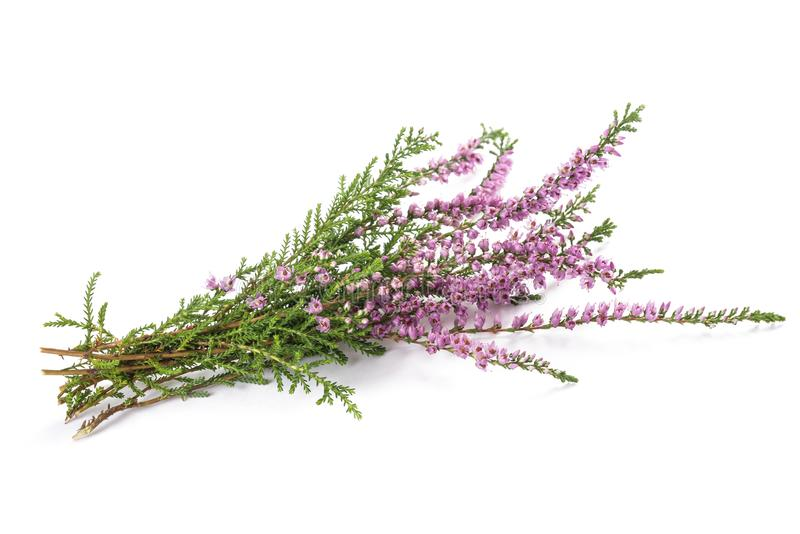 Purpere heidebloemen stock afbeelding