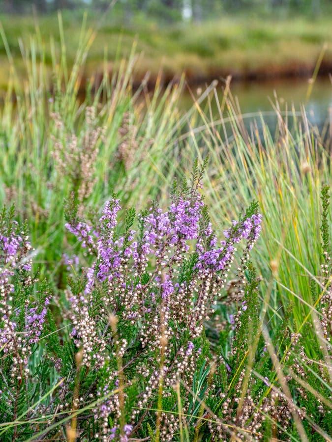 Purpere heidebloemen  moeras, de herfst stock foto