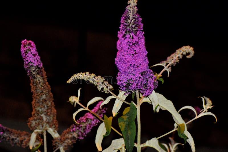 Purpere het bloeien buddleia door kroonhof bij nacht stock afbeelding
