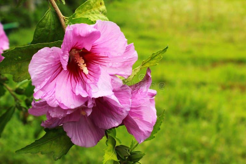 Purpere hibiscusbloemen met waterdalingen na regen royalty-vrije stock foto