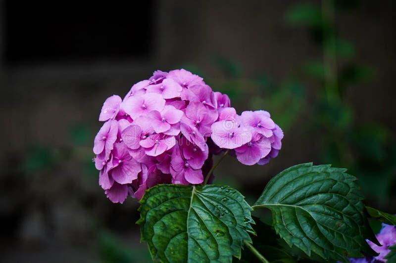 Purpere hydrangea hortensia in bloei, kleurenvariatie van roze aan purple stock afbeelding