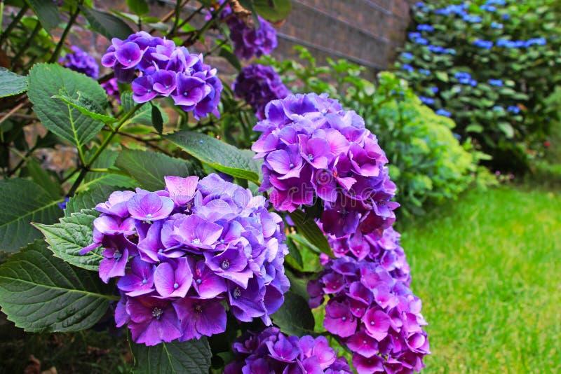 Purpere hydrangea hortensia'sbloemen in de tuin stock afbeelding