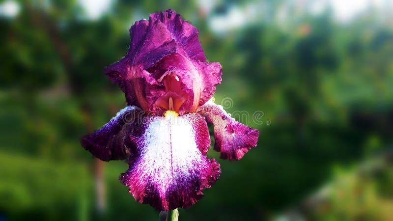 Download Purpere Iris stock foto. Afbeelding bestaande uit bloem - 54081916