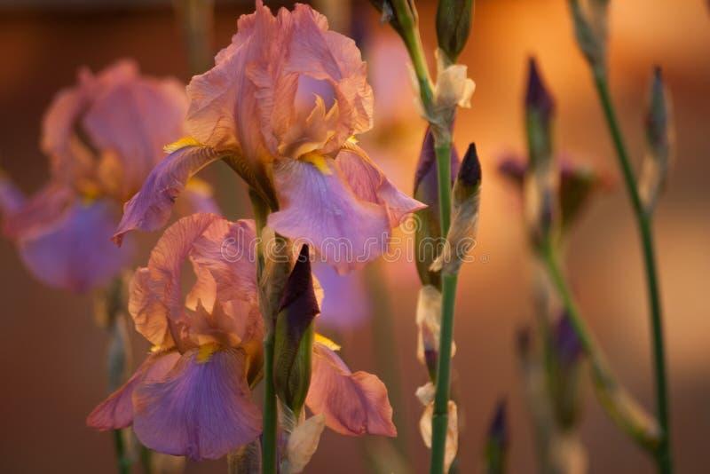 Purpere irissen bij dageraad royalty-vrije stock afbeeldingen