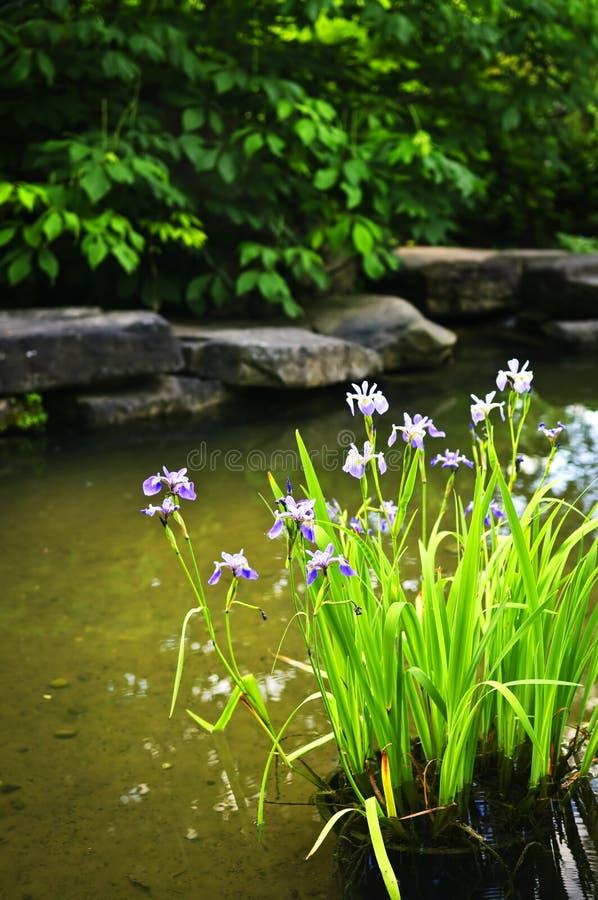 Purpere irissen in vijver stock foto's