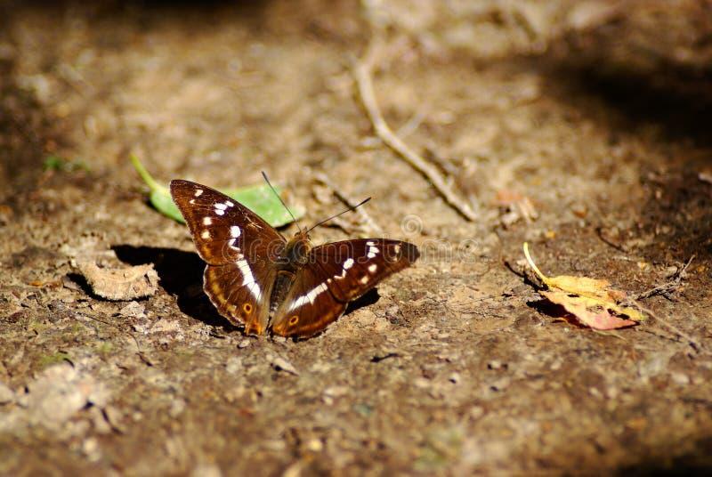 Purpere keizervlinder stock afbeelding