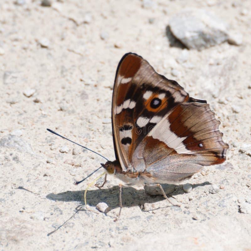 Purpere Keizervlinder (Apatura-iris) met gesloten vleugels stock afbeelding