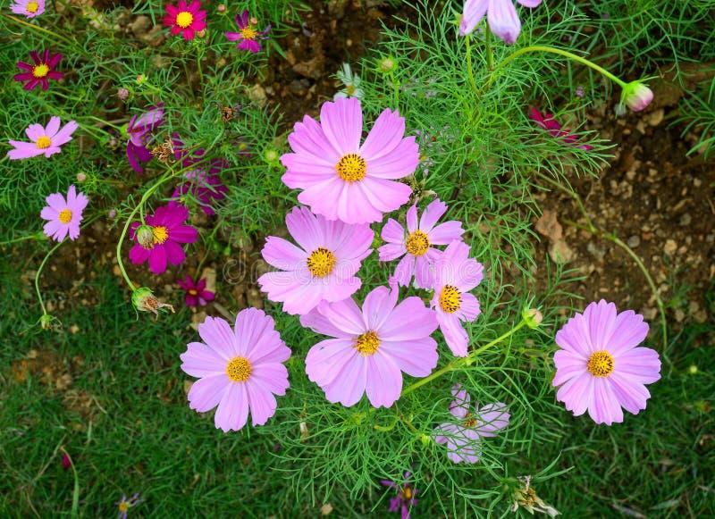 Purpere kosmosbloem die bij tuin bloeien royalty-vrije stock afbeeldingen