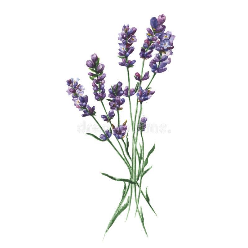 Purpere lavendel Bloemen botanische bloem Geïsoleerd illustratieelement stock illustratie