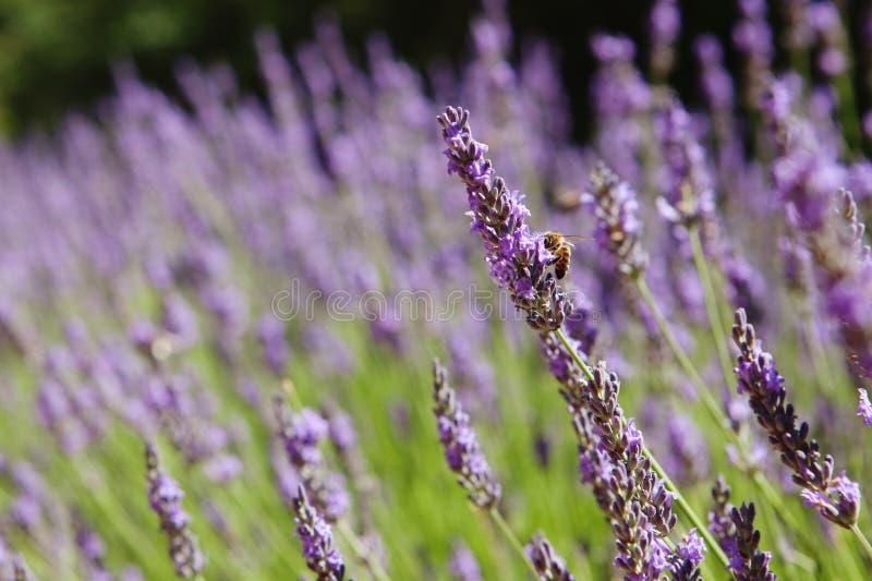 Purpere lavendelbloemen, Zonsondergang over een gebied van de de zomerlavendel Bu royalty-vrije stock afbeeldingen