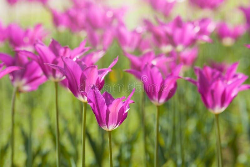 Download Purpere Leliebloemen In Achterlicht Stock Foto - Afbeelding bestaande uit bloesem, seizoen: 54089888