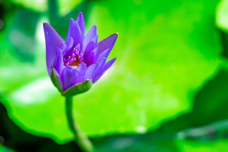 Purpere leliewater of lotusbloembloem in het zeer verse bassin stock foto