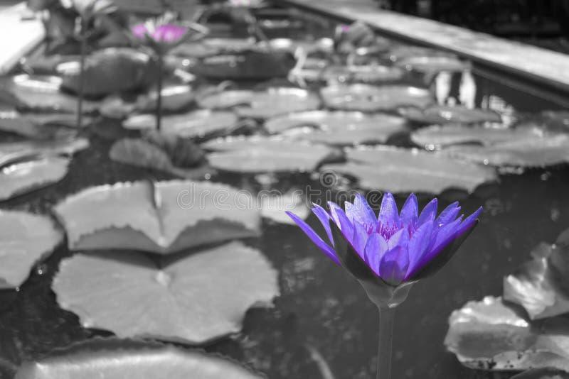 Purpere Lillies op vijver in zwart-wit stock afbeeldingen