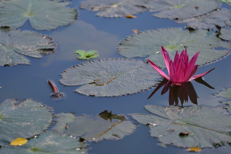 Purpere Lily Lotus met bol groen blad stock afbeelding