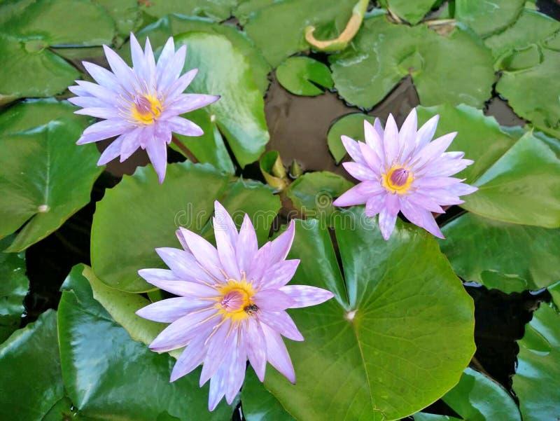 Purpere lotusbloem stock fotografie