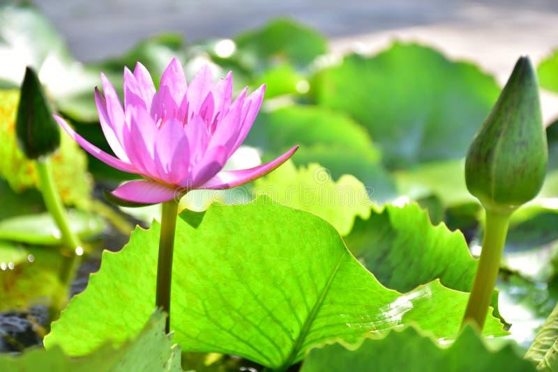 Purpere lotusbloem royalty-vrije stock foto
