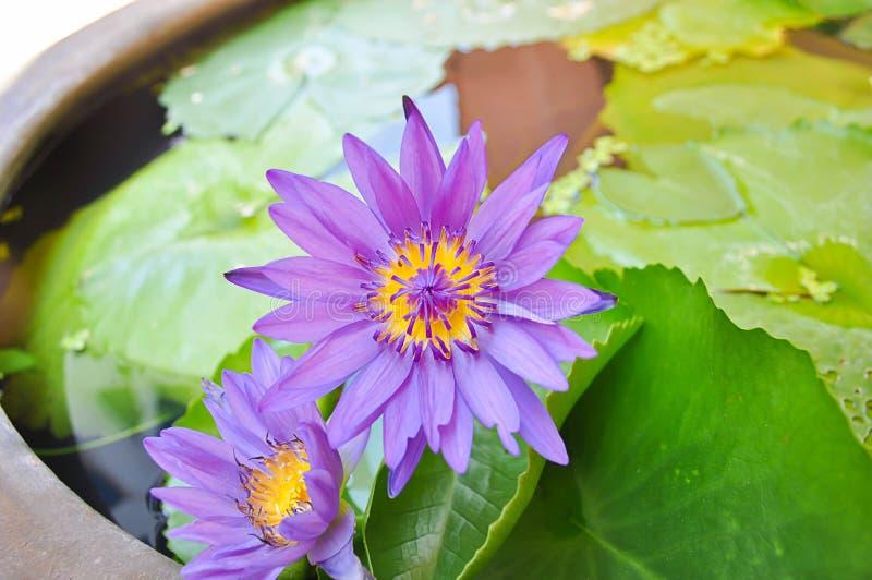 Purpere lotusbloem stock afbeeldingen