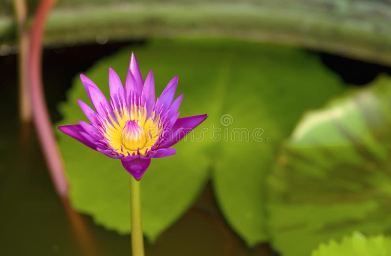 Purpere lotusbloem royalty-vrije stock fotografie