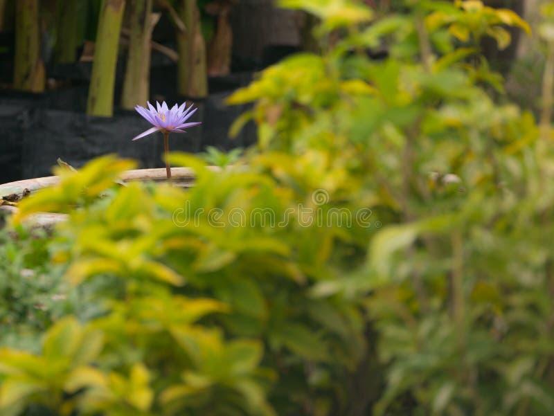 Purpere lotusbloem in de vijver stock foto