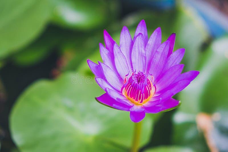 Purpere lotusbloem die in de pool bloeien stock afbeeldingen