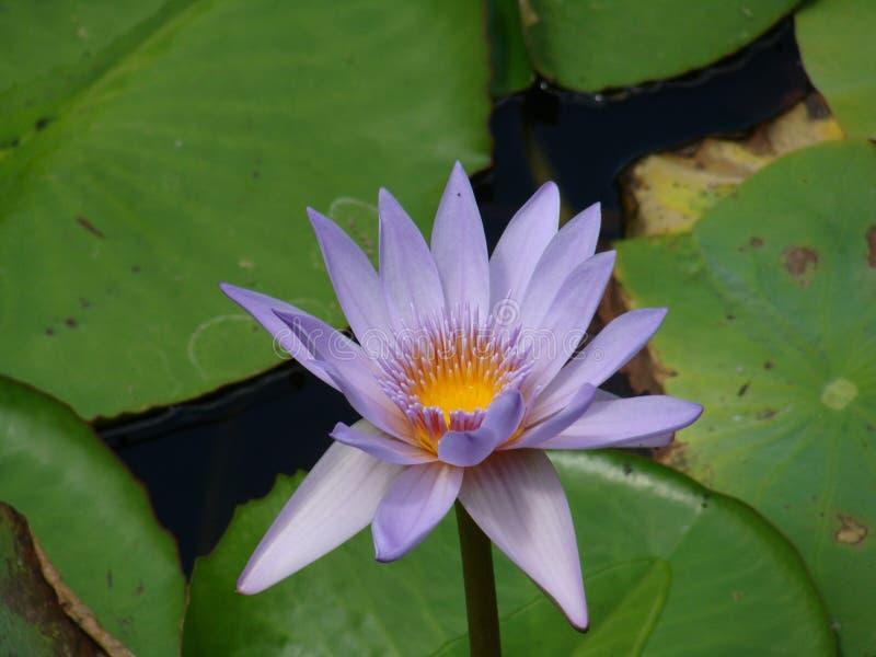 purpere lotusbloem met groene bladeren royalty-vrije stock afbeelding