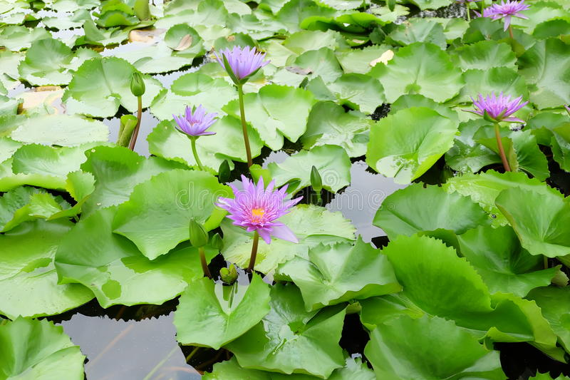 Purpere lotusbloembloem royalty-vrije stock fotografie