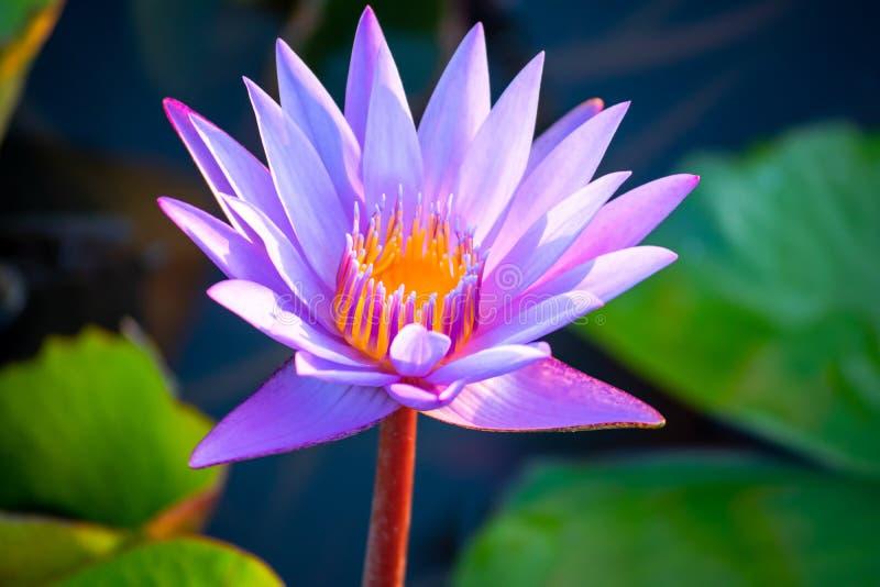 Purpere lotusbloembloem met het groene bladeren groeien als achtergrond in het lokale meer bij Uttaradit-provincie noordelijk van royalty-vrije stock afbeeldingen