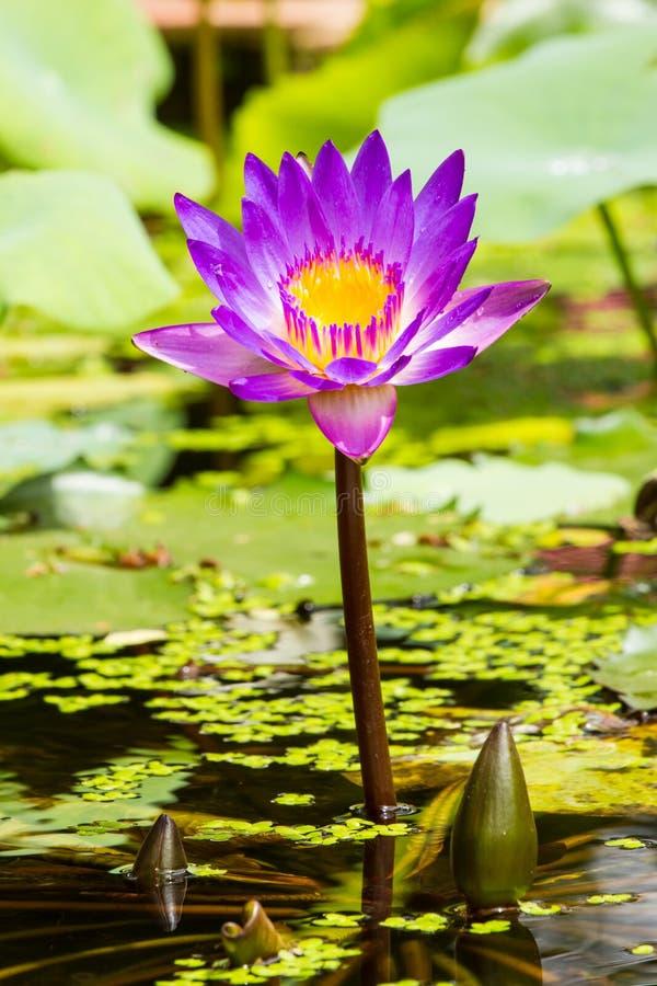 Purpere lotusbloembloem in Thailand stock afbeelding