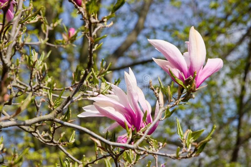 Purpere magnolia stock afbeeldingen