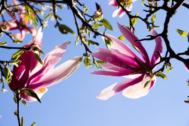 Purpere magnolia royalty-vrije stock afbeelding