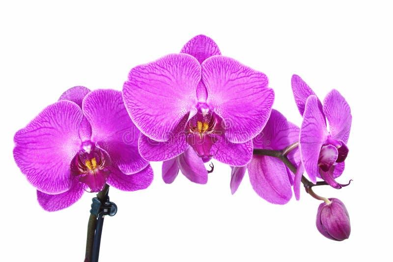 Purpere orchideeën stock afbeelding