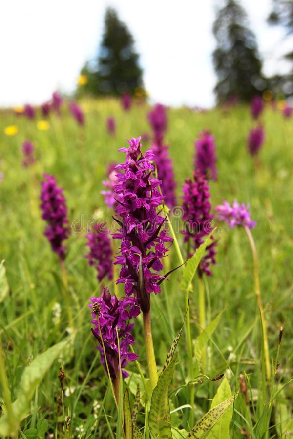 Purpere orchidee royalty-vrije stock fotografie